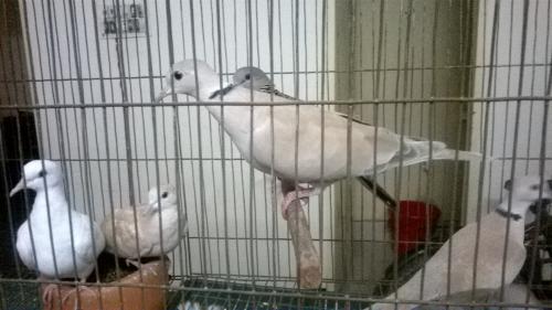 White Dove Bird Price in Bangladesh