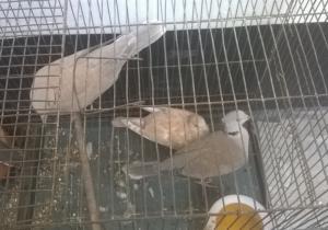 Dove Bird হাত বদল করতে চাই...