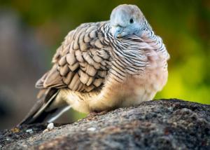 Zebra Dove Price in Bangladesh