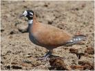 Flock Bronzewing Pigeon