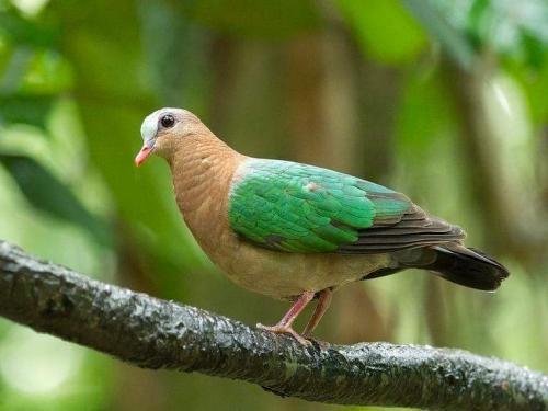 green emarel dove